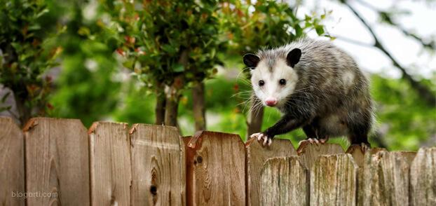 Gebelik süresi en kısa hayvanlar